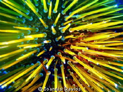 Brown sea urchin by Ioannis Davios 
